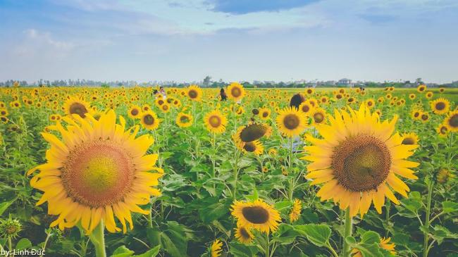 Hoa ở đây cao ngang người lớn, bông nở to và được trồng thành hàng lối. Ảnh: Linh Đức
