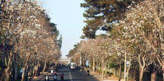 Cuối tháng 12 lên Đà Lạt ngắm hoa ban trắng